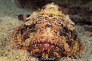spotted scorpionfish, Scorpaena plumieri, The Garden, Saint Vincent or St. Vincent, West Indies ( Eastern Caribbean Sea )