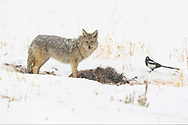 Coyote eating on a carcass in Yellowstone winter