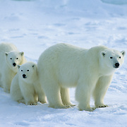 Polar Bear portrait of a mother and her cubs. Churchill, Manitoba, Canada