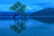 Oceania, New Zealand, Aotearoa, South Island, Otago Wanaka, Wanake tree