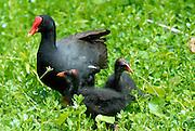 Alae ula, Hawaiian Moorhen (Gallinula chloropus sandvicensis) and chicks. The Alae ula is an endangered species found only on two Hawaiian islands. Waimea Valley, Oahu, Hawaii
