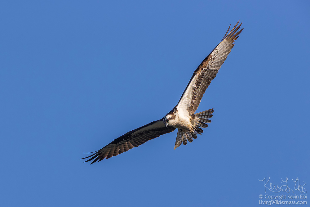 An osprey (Pandion haliaetus) soars over Port Gardner near Everett, Washington, in search for fish. Osprey, also known as sea hawks or fish eagles, hover over water until they spot fish. They then plunge head and feet first to grab their prey. Barbed pads on their feet prevent slippery fish from getting away.
