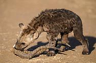 Eine junge Tüpfelyäne (Crocuta crocuta)  spielt mit dem Gehörn eines Impalas im Schutzgebiet Tuli Block, Botswana<br /> <br /> A spotted hyena cub (Crocuta crocuta) is playing with the horns of an impala, private game reserve Tuli Block, Botswana