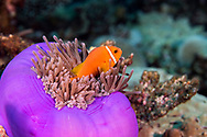 Blackfoot Anemonefish, Amphiprion nigripes, Regan, 1908, Maldives