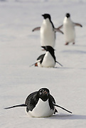 Adelie Penguins on the sea ice their way to their nests.