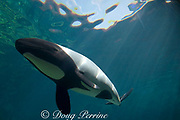 Commerson's dolphin ( Cephalorhynchus commersonii ), native to southern South America