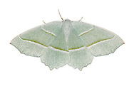 70.283 (1961)<br /> Light Emerald - Campaea margaritata