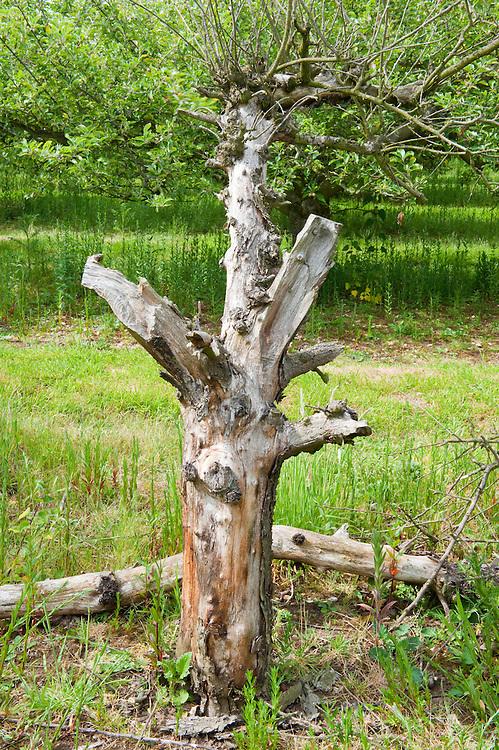 Dead standing wood in a Suffolk orchard - stag beetle habitat, Lucanus cervus, Suffolk, England, Europe.