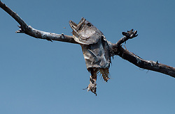 Bass Carcass Near Osprey Nest, Blue Cypress Lake, Vero Beach, Florida, US