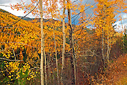Aspens and western larch in fall. Yaak Valley, Montana