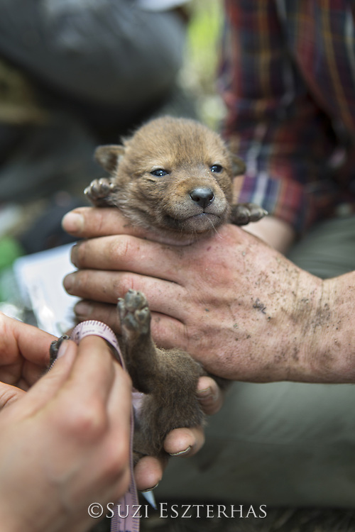 Coyote <br /> Canis latrans<br /> Wildlife researchers of the Cook County Coyote Project measuring paw of four-week-old pup<br /> Chicago, Illinois