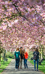 © Licensed to London News Pictures. 10/04/2014. London, UK. A group of friends tie photographs.  People walk and play amongst the pink cherry blossom in bright sunshine at Greenwich Park in London today, 10 April 2014,The weather forecast is set to be brighter and warmer over the coming days.Photo credit : Stephen Simpson/LNP