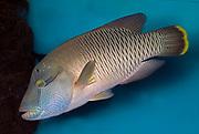 Napoleon Fish, the big wrasse, Cheilinus undulatus.