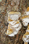 alder bracket<br /> Inonotus radiatus