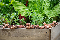 Harvested potatoes left out in the sun to dry before storing. Potato 'Pink Fir Apple'