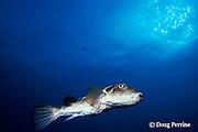 bullseye pufferfish, Sphoeroides annulatus, Galapagos Islands, Ecuador  ( Eastern Pacific Ocean )