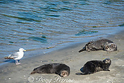 a gull, Larus sp., wanders among California sea otters or southern sea otters, Enhydra lutris nereis ( threatened species ), basking on the beach at Elkhorn Slough, Moss Landing, California, United States ( Eastern Pacific ); this is the only location where Pacific sea otters are known to come ashore regularly