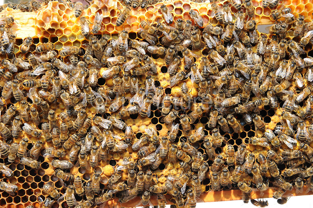 Bees crawl over a honeycomb section removed from a beehive in Oxfordshire, England, 2010.  The ancient art of beekeeping is enjoying a renaissance in Britain, fuelled partly by the desire to do something for the environment.