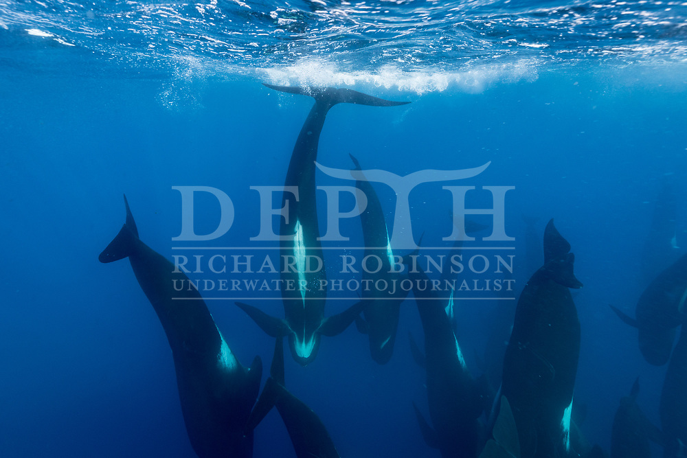 A pod of Globicephala melas (Long-finned pilot whale) offshore, Northern New Zealand.  <br /> January 2018<br /> Photograph Richard Robinson © 2018