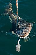 En hälleflundra på kroken. Sänket väger ett kilo.<br /> <br /> Fiske med kapten Niklas Ranta i Seward, Alaska<br /> <br /> Photographer: Christina Sjogren<br /> <br /> Copyright 2018, All Rights Reserved