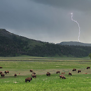 Lightning strikes near a herd of American bison (Bison bison) in Yellowstone National Park.