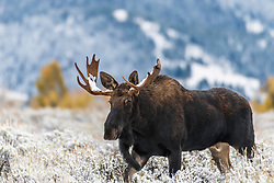 A young Bull Moose upon awakening from a snowy autumn nap remembers it breeding season and dewlap aswinging it in hot pursuit  of a cute little cow in Jackson Hole Wyoming
