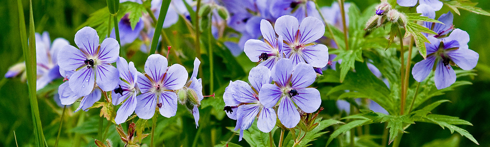 Alaska.  Numerous clusters of bluish-purple Wild Geranium blossoms (Geranium erianthum) surrounded by green foliage near Anchorage in July.