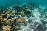 Nurse Shark (Ginglymostoma cirratum) & Permit (Trachinotus falcatus)<br /> Hol Chan Marine Reserve<br /> near Ambergris Caye and Caye Caulker<br /> Belize Barrier Reef, second largest barrier reef in the world<br /> Belize<br /> Central America