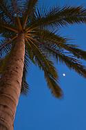 Moon and Palm Trees in evening, Waikiki, Honolulu, Oahu, Hawaii