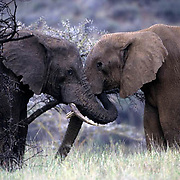 African Elephant, (Loxodonta africana)  Two bulls trunk to trunk. Kenya. Africa.