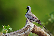 The small Namaqua Dove (Oena capensis), the only species in its genus. Photo from Samburu National Reserve, Kenya.