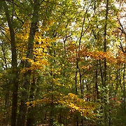 Walden Woods adjacent to Walden Pond, near the site where Thoreau built his iconic, rustic cabin