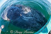 gray whale calf, Eschrichtius robustus, rolls over to look up at visitors in boat, San Ignacio Lagoon, El Vizcaino Biosphere Reserve, Baja California Sur, Mexico