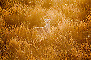 Sika Deer among the reeds at Arne Nature Reserve on the Isle of Purbeck, Dorset, UK.