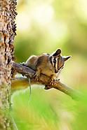 Wildlife - Squerrell/ Chipmunk/ Pika
