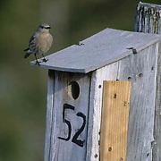 Mountain Bluebird (Sialia currucoides) Female at nest box. Bridger Mountains. Montana