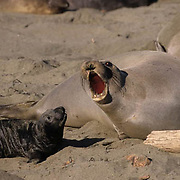 Northern Elephant Seal, (Mirounga angustirostris) Mother and pup. California.