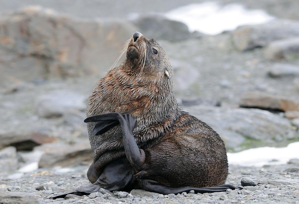 A male  Antarctic fur seal (Arctocephalus gazella) scratches his chest with his back flipper. Shingle Cove, Coronation Island, South Orkney Islands, Antarctica. 28Feb16Feb16