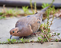 Mourning Dove. Image taken with a Nikon D5 camera and 600 mm f/4 VR telephoto lens (ISO 560, 600 mm, f/4, 1/1250 sec).