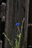 A Bachelor Button growing wild next to a wonderfully weathered fence.