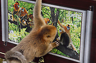 Golden Snub-nosed Monkey, Rhinopithecus roxellana, watching and inspecting a picture of other monkeys displayed in the Foping Nature Reserve, Shaanxi, China