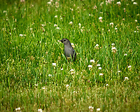 Gray Catbird. Image taken with a Nikon D2xs camera and 70-200 mm f/2.8  lens with a 1.4x TC-EII teleconverter.