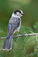 Gray Jay - Perisoreus canadensis - Adult