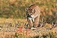 Mountain lion cub (Felis concolor)  this cub is about 9 months old.
