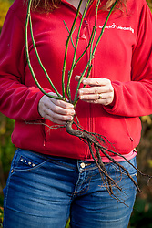 Holding a bare root rose ready to plant out