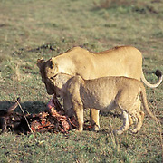 Lion, (Panthera leo) Adult lioness and older cub feeding on wildebeest. Masai Mara Game Reserve.Kenya. Africa.