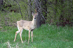 09 April 2005:   White tailed deer try to remain hidden but are easily spotted as the stand against a background of stark contrast.