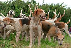 Pack of fox hunting hounds Dorset UK