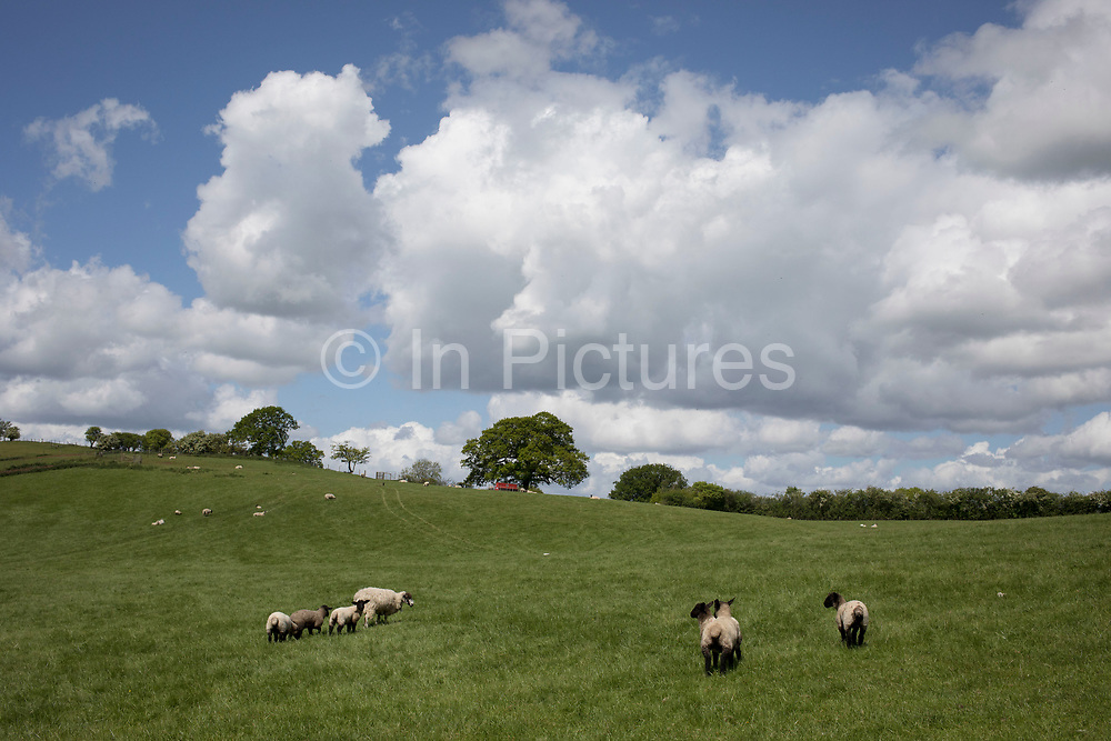 Spring lambs on a green hill in the British countryside near Studley, Warwickshire, England, United Kingdom.
