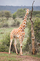 A reticulated giraffe stands frozen on Loisaba Conservancy, Kenya.